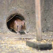 Neugierig auf das Jahr der Ratte?